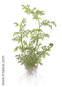 Ceratopteristhalictroides.jpg