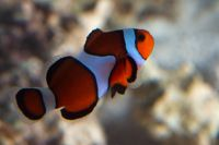 Amphiprion percula-667.jpg